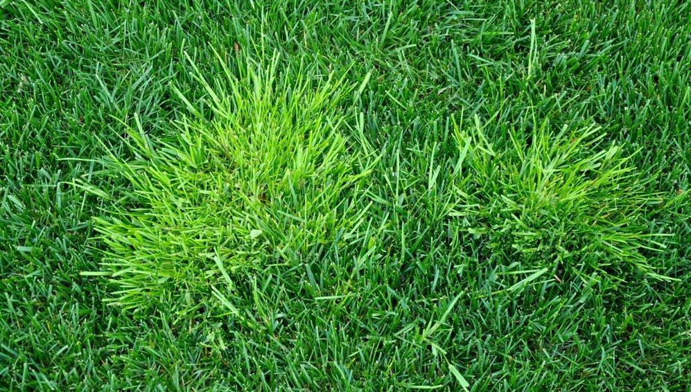 annual bluegrass weeds