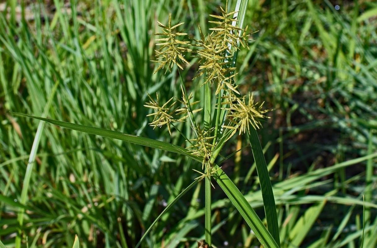 nutsedge weeds
