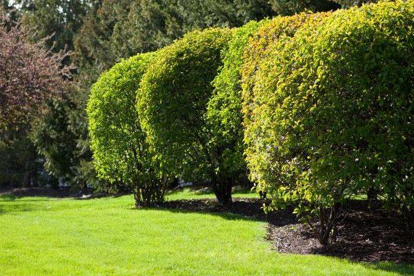 tree-and-shrub-care-dallas-fort-worth