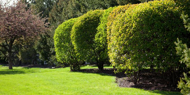 tree-and-shrub-care-dallas-fort-worth