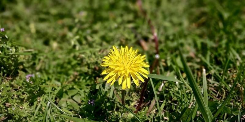 common weeds in dallas