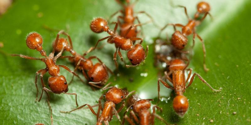 fire ant treatment dallas