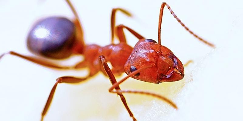 fire ant control tips texas