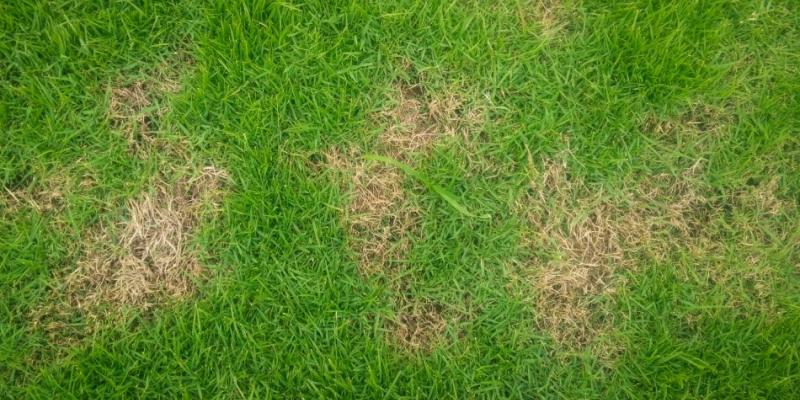 brown patch in lawn