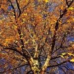 Dormant Oil Spray for Trees and Shrubs