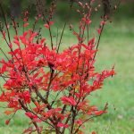 16 Trees and Shrubs to Plant to Add Fall Colors in Your Dallas Landscape