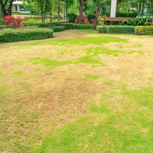 brown patch pests