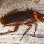Common Cockroaches in DFW