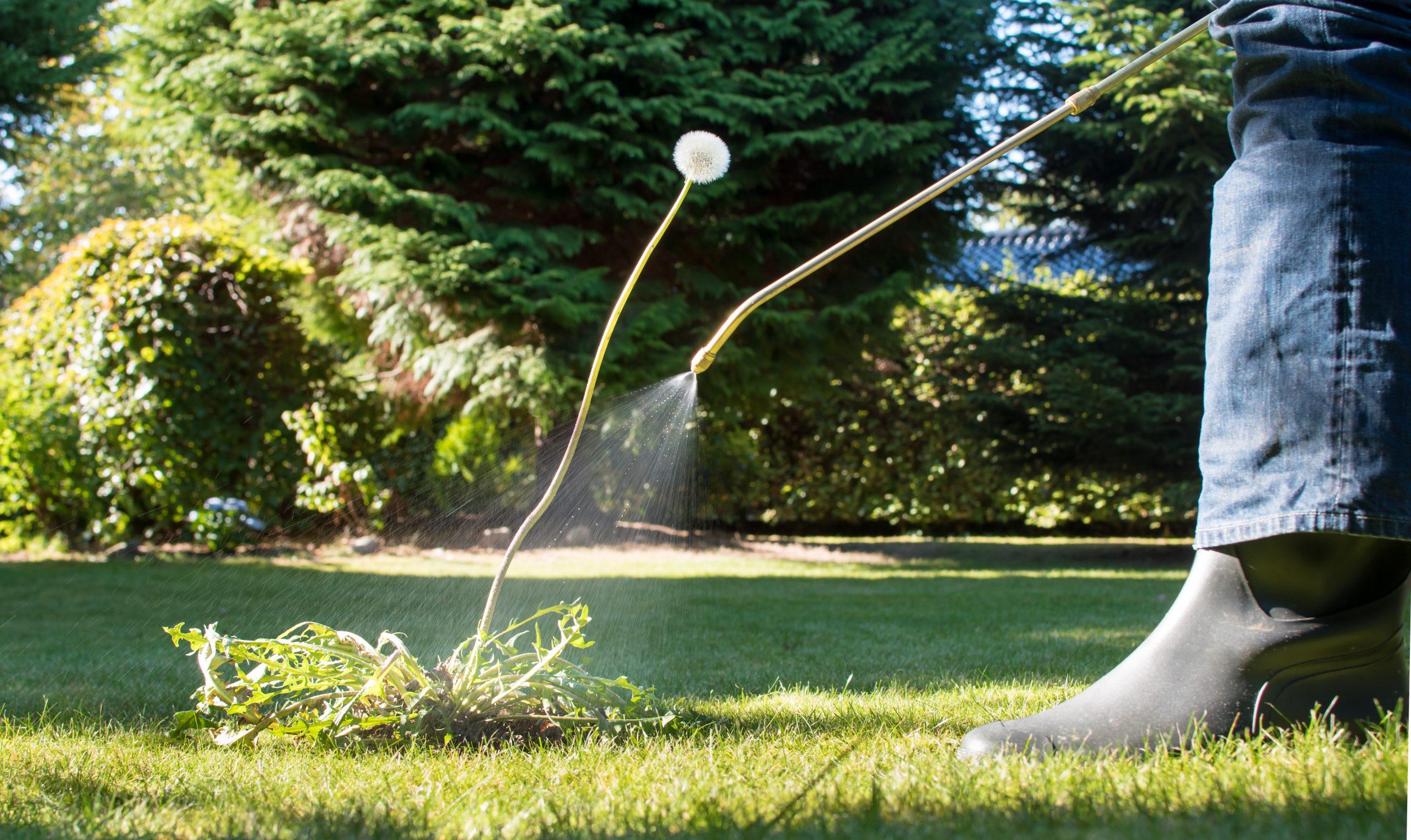 spraying weeds on lawn