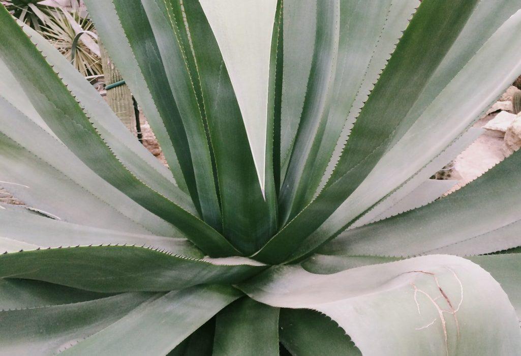 Century Agave Plant