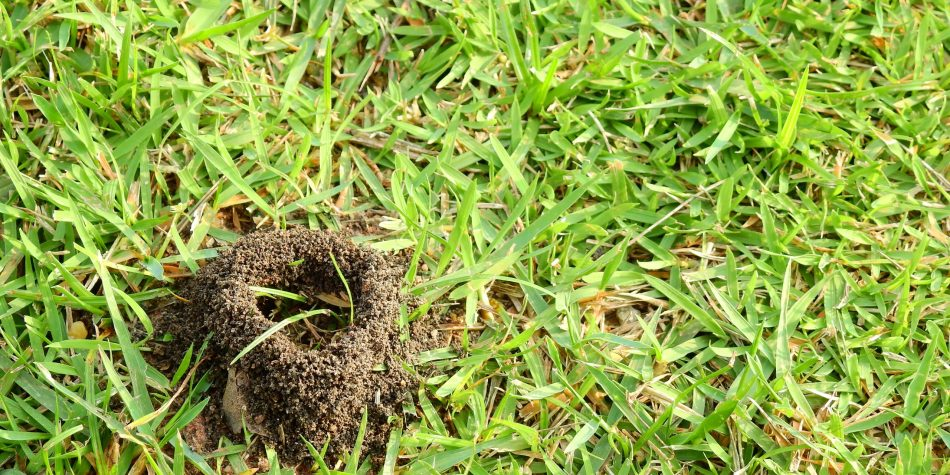 ant nest on lawn