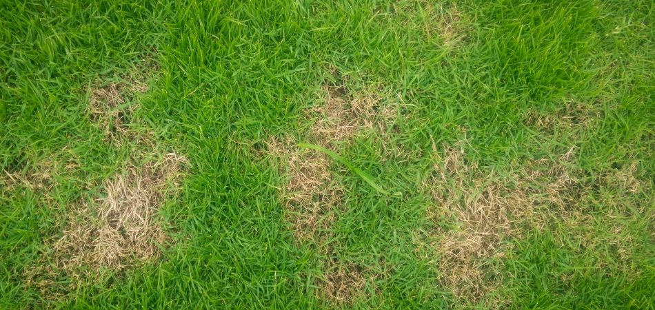 brown patch disease