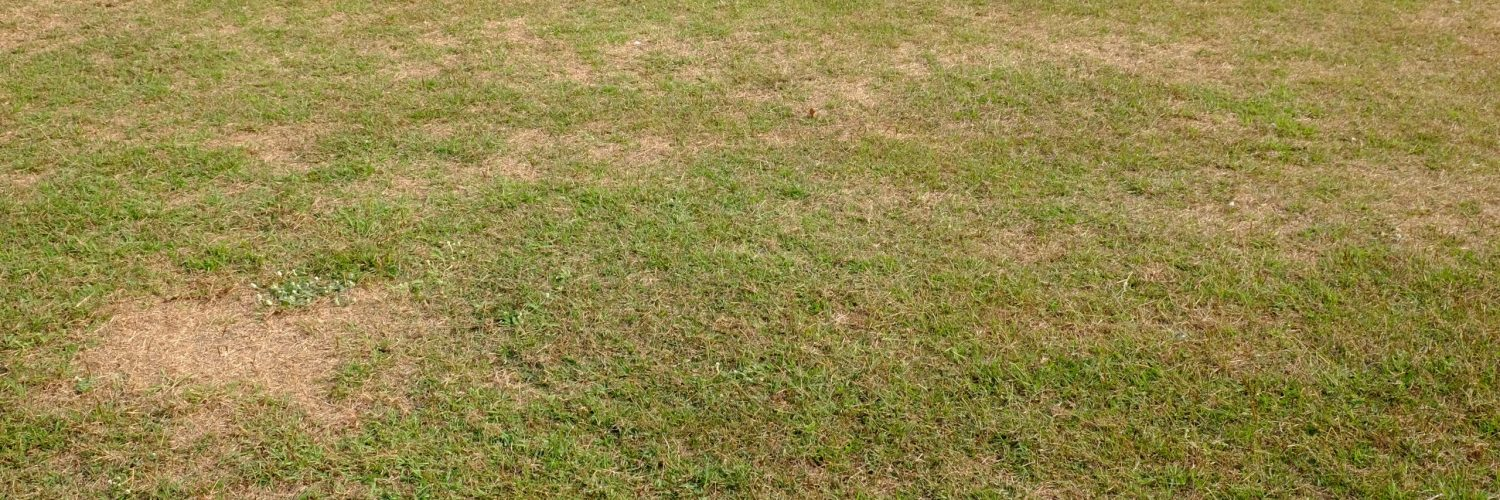 brown patch drought stress