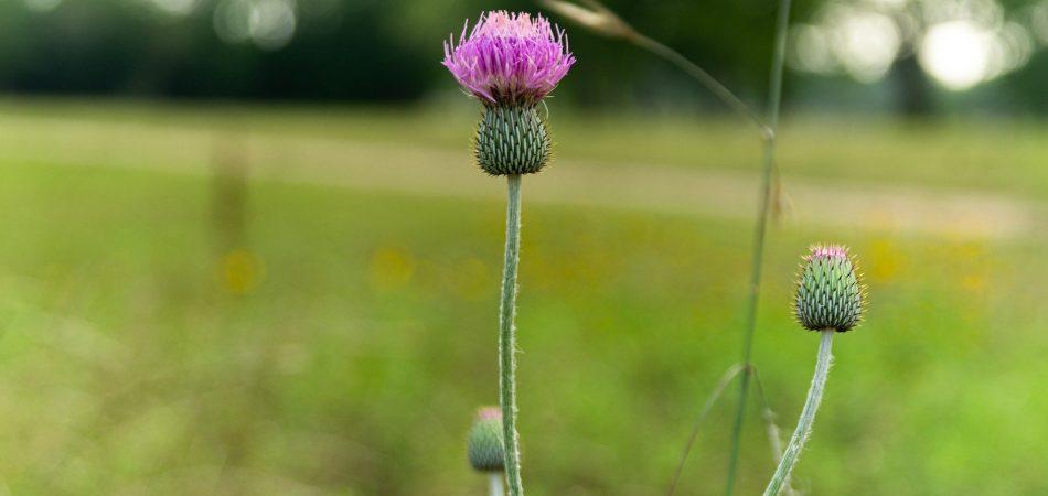 texas thistle flower