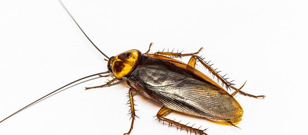 turkestan cockroach